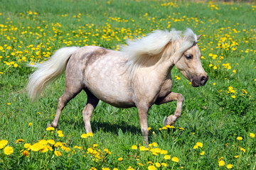 Funny Falabella pony in spring meadow