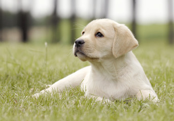 yellow puppy on the grass