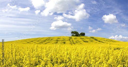 Rape field in landscape.