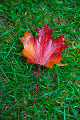 maple leaf on grass