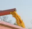 Close up of corn harvesting