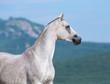 Arabian horse looking forward.