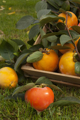 collection of persimmon