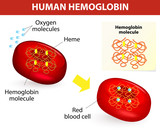 Structure of human hemoglobin