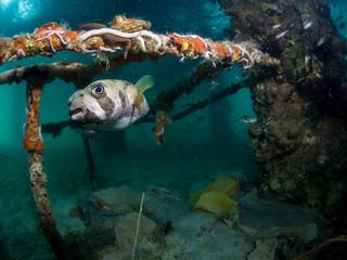 Blotched  Porcupinefish - Diodon liturosus