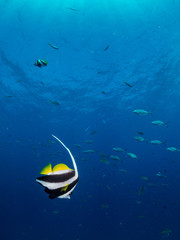 Longfin Bannerfish Butterflyfish - Heniouchus acuminatu