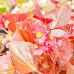 begonia flower.
