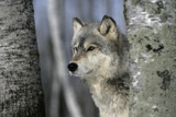 Grey wolf, Canis lupus - 57875177