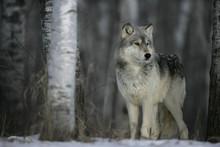 "Постер, картина, фотообои ""Grey wolf, Canis lupus"""