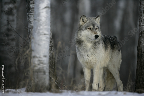 Foto op Canvas Wolf Grey wolf, Canis lupus