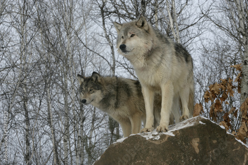 wall mural grey wolf canis lupus photo wallpaper