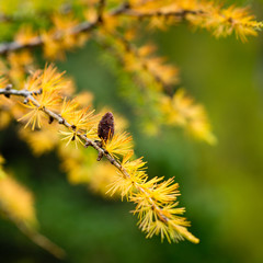 Larch branch with cone all in autumn golden color