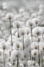 Floraison Herbe de coton