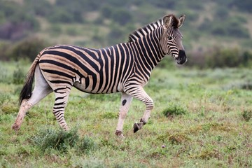 Plains Zebra Running