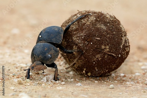 Flighless Dung Beetle Rolling Ball
