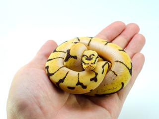 snake ball python