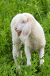 White lamb in green field