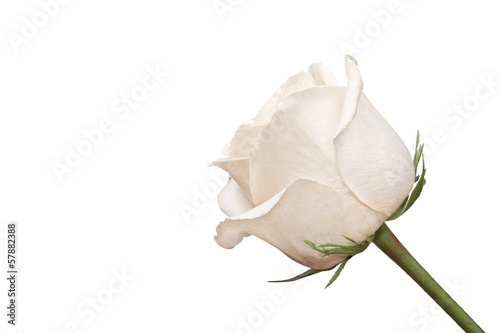 The side shot of white rose