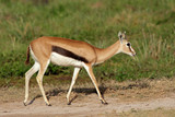 Thomsons gazelle, Amboseli Nationla Park