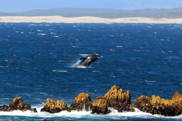 Springender Südlicher Glattwal