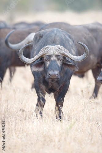Portrait of a African Buffalo