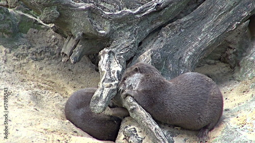group of otters playing