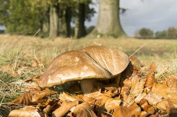 Suillus bovinus mushroom.