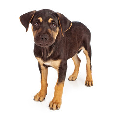 Rottweiler Mix Puppy Looking at Camera
