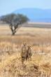 Two cheetahs on a mound