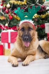 dog with deer antlers hat on Christmas Eve, Christmas tree and g