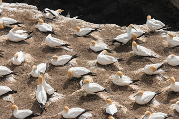 colony of Australasian Gannets