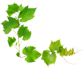 vine leaves isolated on white background