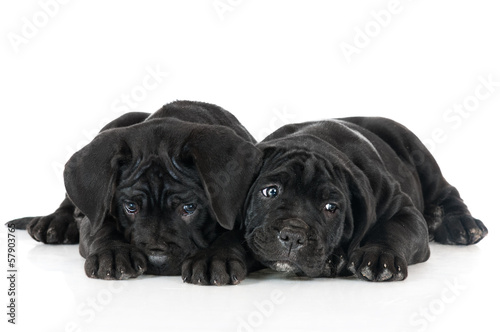 adorable cane corso puppies