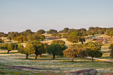 oaks in the meadows in Extremadura, Spain