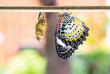 Female leopard lacewing butterfly