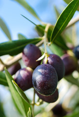 Reife Oliven am Zweig Nahaufnahme - Ripe Olives on a Branch