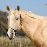 Nice palomino horse looking at you
