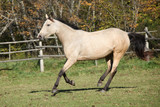 Beautiful palomino horse running on pasturage in autumn