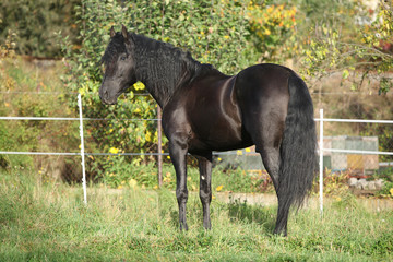 Nice black stallion with long mane