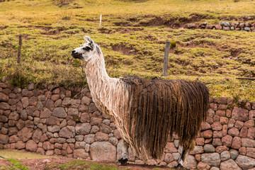 Peruvian  vicuna. Farm of llama,alpaca,Vicuna in Peru