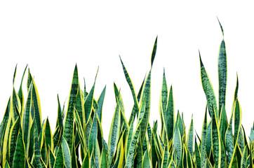many sansevieria plant