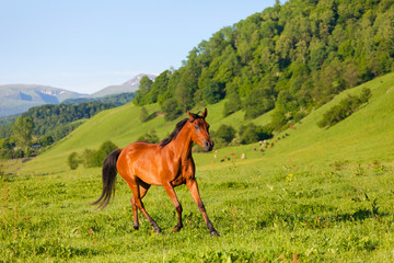 bay horse of  Arab breed to stand on green meadow