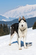 Siberian Husky in the snow