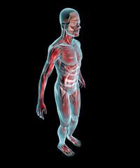 Uomo muscoli corpo umano ai raggi x di lato