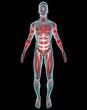 Uomo muscoli corpo umano ai raggi x