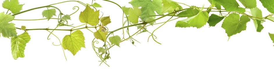 vrilles de vigne