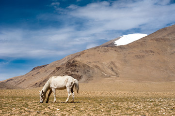 White wild horse at Himalaya mountains. India