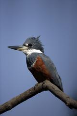 Ringed kingfisher,  Megaceryle torquata