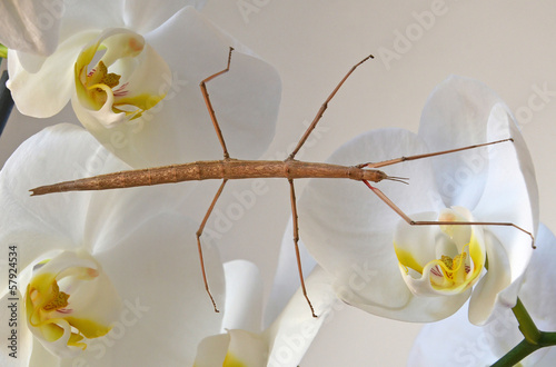 stick insect on orchids
