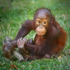 The Bornean orangutan (Pongo pygmaeus).